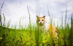 Picture cat, summer, grass, cat, look