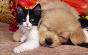 Picture kitty, sleep, friendship, puppy