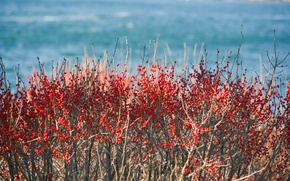 Picture sea, ocean, berries, branches, sunny