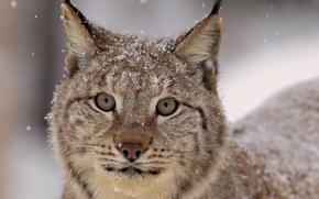 Wallpaper beautiful, Snow lynx, feline