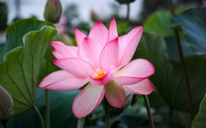 Picture flower, nature, petals, Lotus