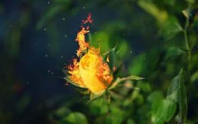 Picture leaves, fire, rose, blur, fire, burns, roses
