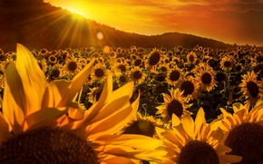 Picture field, the sky, trees, sunflowers, hills, yellow, the rays of the sun