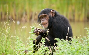 Picture monkey, chimpanzees, the primacy of