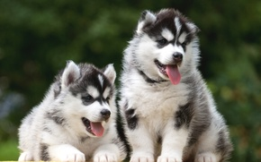 Picture puppies, Duo, husky