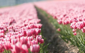 Picture flowers, nature, Tulip, spring, tulips, buds, tulips, plantation