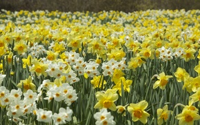 Picture spring, daffodils, plantation