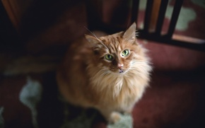 Wallpaper look, green eyes, red cat