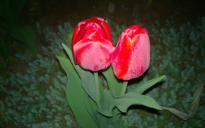 Picture night, red, tulips