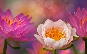 Wallpaper flowers, flowering, water lilies