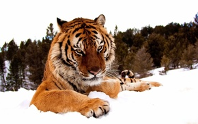 Picture winter, forest, look, face, snow, tiger, paws, serious