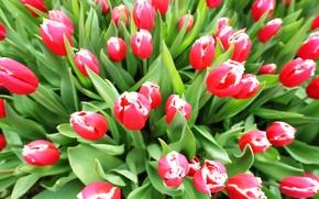 Picture leaves, petals, garden, tulips, flowerbed