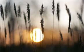 Picture grass, the sun, sunset, spikelets