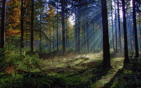 Picture forest, grass, the sun, rays, trees, branches, foliage, kostric