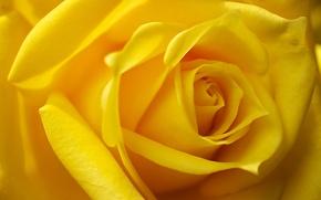 Picture macro, rose, Bud, yellow rose