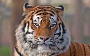 Picture look, face, tiger, animal, predator, color