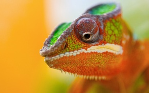 Picture animal, Chameleon, color