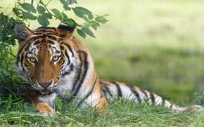 Picture cat, grass, tiger, ©Tambako The Jaguar