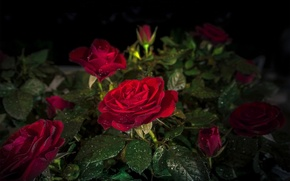 Wallpaper Red, red, Drops, Roses, roses, leaves, night, Foliage, drops