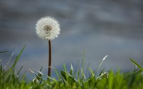 Picture grass, background, dandelion