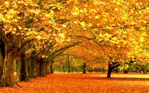 Wallpaper foliage, Park, falling leaves, trees, leaves, forest trees, leaves