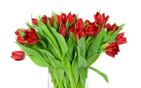 Wallpaper white background, bouquet, red, buds, tulips, leaves