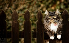 Wallpaper cat, background, the fence