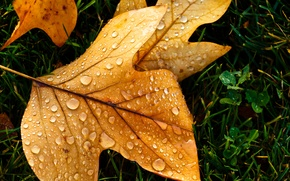 Picture autumn, drops, macro, sheet