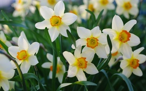 Picture petals, spring, daffodils