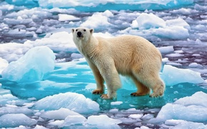 Picture snow, ice, Norway, polar bear, polar bear, Northern bear