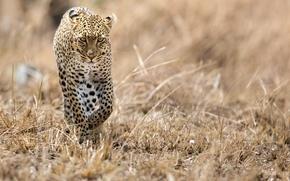 Wallpaper cat, leopard, Africa, predator, Savannah