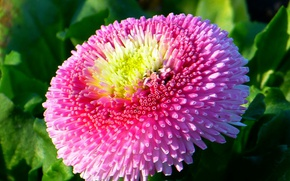 Picture flower, pink, Daisy