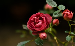 Picture flower, macro, red, rose, briar, wild