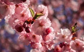 Picture macro, flowers, Sakura