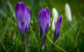 Picture grass, flowers, spring, purple, crocuses