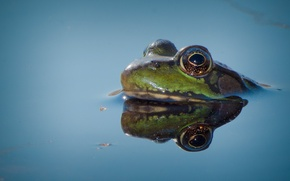 Picture frog, eyes, lake, reflection