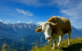 Picture animals, the sky, grass, flowers, mountains, nature, landscapes, view, cows, photo with animals, bulls