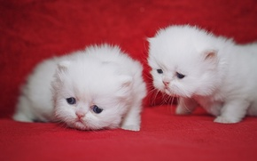 Picture kittens, kids, a couple, cuties, Persian cat