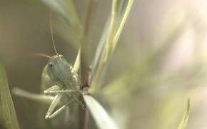 Picture nature, background, grasshopper