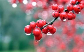 Picture macro, Rosa, berries