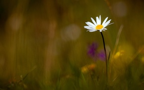 Picture flower, grass, Daisy, white, Benjamine