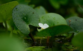 Picture flower, water, droplets, Banana plant, Banana plant