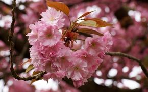 Picture flowers, cherry, Sakura