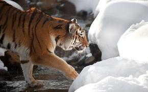 Picture cat, snow, tiger, stream, profile, Amur