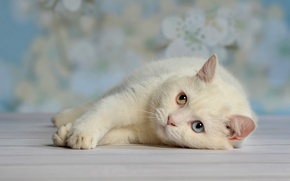 Picture white, eyes, cat, stay, laziness