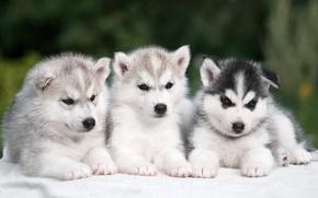 Picture trio, husky, puppies