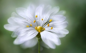 Picture flower, petals, stamens
