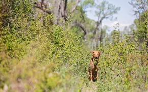 Picture trail, shrub, red dog