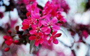 Picture flowers, mood, spring, beautiful, pink, Ukraine, Kiev