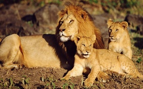Picture Leo, the cubs, Wild cats